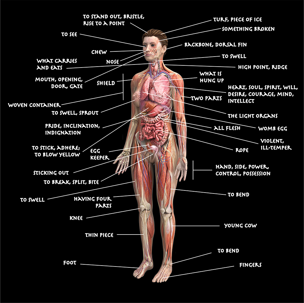 Diagram of the human body using etymologies pooptronica